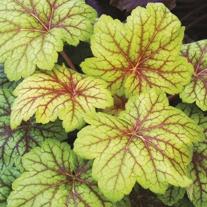 Heuchera Electric Lime Plants
