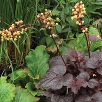 Heuchera Gotham Plants