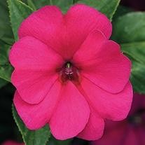 Impatiens Big Bounce Violet Plants
