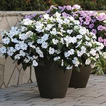 Impatiens Big Bounce White Plants