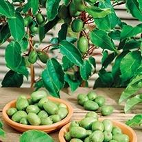 Kiwi Arguta Issai Plant