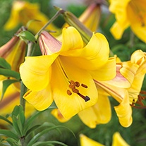 Lily Golden Splendour Bulbs