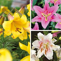 Scented Lily Collection Flower Bulbs