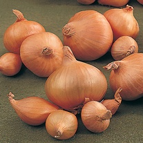 Onion Arthur (Spring Planting) Plants