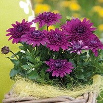 Osteospermum 3D Purple Plants