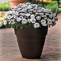 Osteospermum 3D Silver Plants