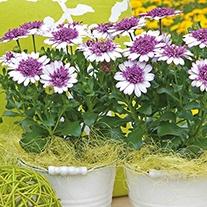 Osteospermum 3D Violet Ice Plants