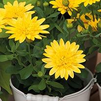 Osteospermum 3D Yellow Plants