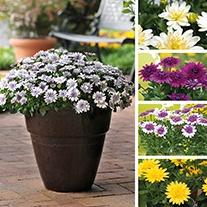 Osteospermum 3D Series Plant Collection