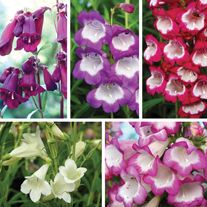 Penstemon Pensham Plant Collection