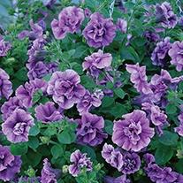 Petunia Tumbelina Priscilla Plants