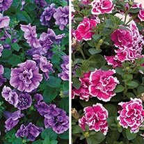 Petunia Tumbelina Series Plant Collection