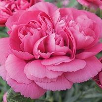Scented Garden Pink Peony Cerise Plants