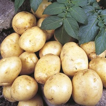 Potato (First Early) Foremost