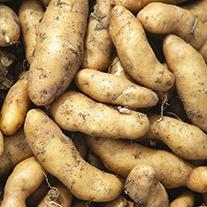 Potato (Maincrop) Ratte