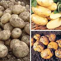 Late Cropping Patio Potato Re-Fill Kit