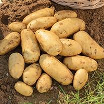 Potato (Second Early) Jazzy