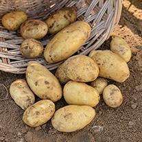 Potato (Second Early) Nicola