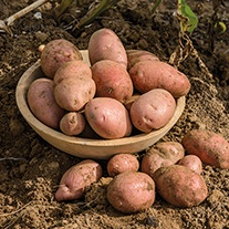 Potato (Late Maincrop) Sarpo Axona