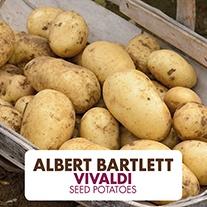 Potato (Second Early) Vivaldi