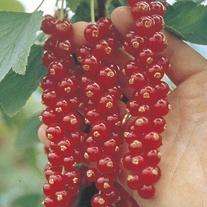 Redcurrant Rovada Plant