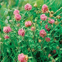 Red Clover Plants