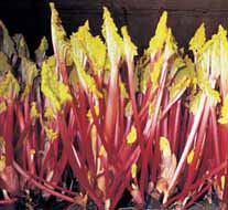 Rhubarb Stockbridge Arrow Crowns