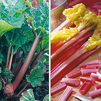 Rhubarb Collection