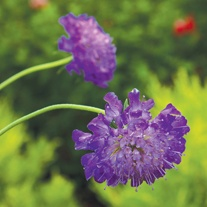 Scabious Blueberry Muffin Plants