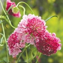 Scabious Strawberry Parfait Plants