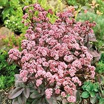 Sedum Jose Aubergine Plants