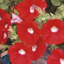 Petunia Surfinia Red with Eye Plants
