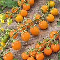 Tomato Sungold F1 Plants