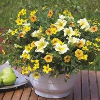 Trixi® Lemon Sorbet Plants