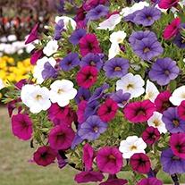 Trixi® Calibrachoa Spirit Plants