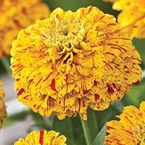 Zinnia Pop Art Golden & Red Plants