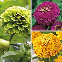 Zinnia Plant Collection