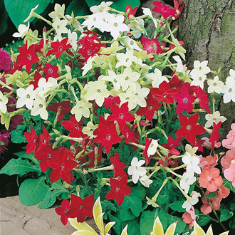 Nicotiana Roulette Mixed F2 Seeds