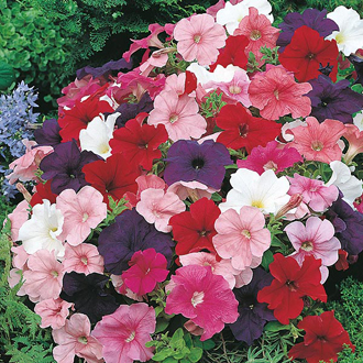 Petunia Mr F's Multiflora Mixed F1 Seeds