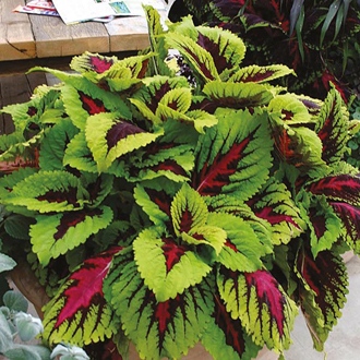 Coleus Kong Rose Seeds