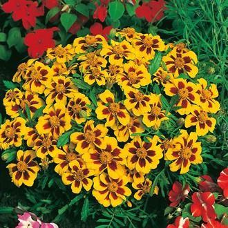 Marigold (French) Naughty Marietta Seeds
