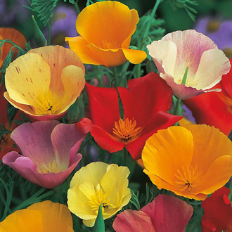 RSPB Californian Poppy Single Mixed Seeds