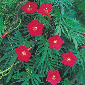 Ipomoea Cardinal Climber Seeds