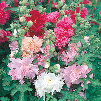 Hollyhock Majorette Mixed Seeds
