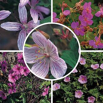 Geranium Seed Mixture - Hardy