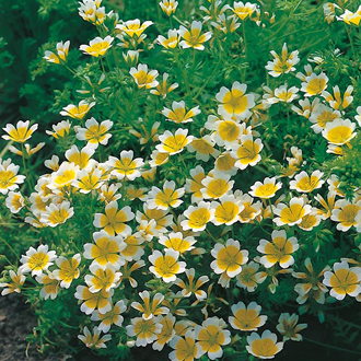 Limnanthes douglasii Seeds