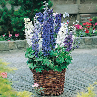 Delphinium Magic Fountains Mixed Seeds