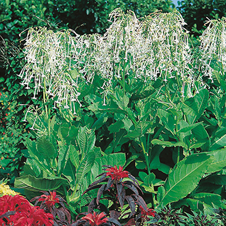 Nicotiana sylvestris Seeds