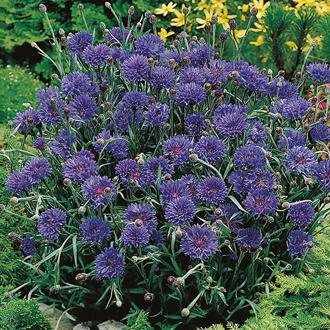Cornflower Midget Blue Seeds