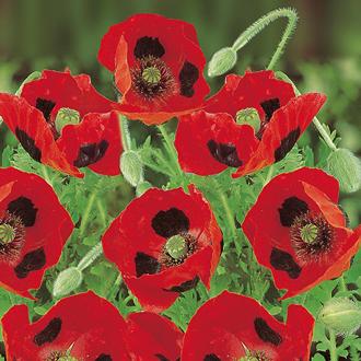 Poppy Ladybird Seeds